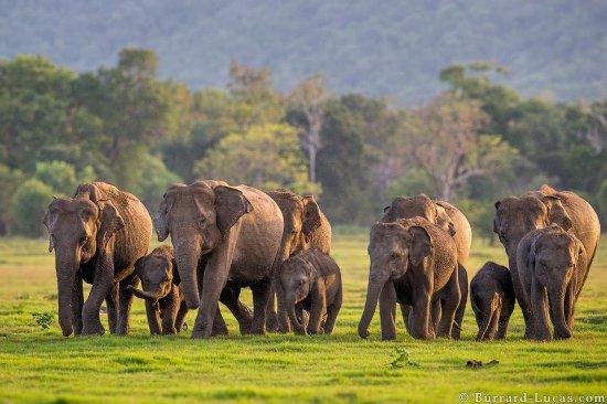 minneriya elephant